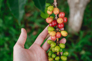 Кофейное дерево и рука