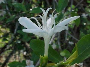 Цветок Типики